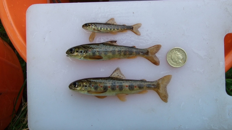 Juvenile salmon form the River Roe, Northern Ireland